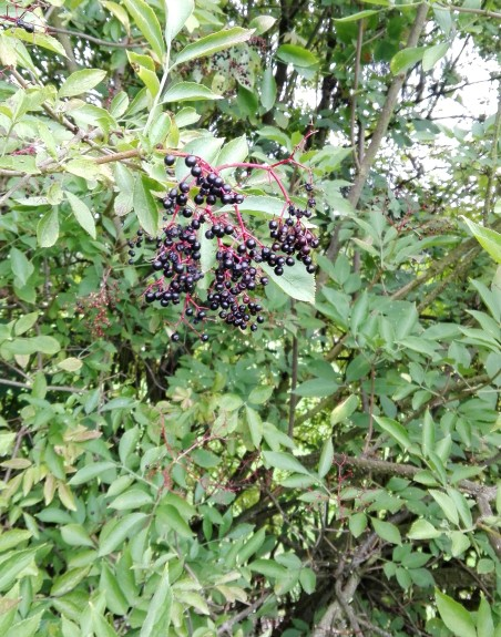 ripe elderberries on elder tree foraging