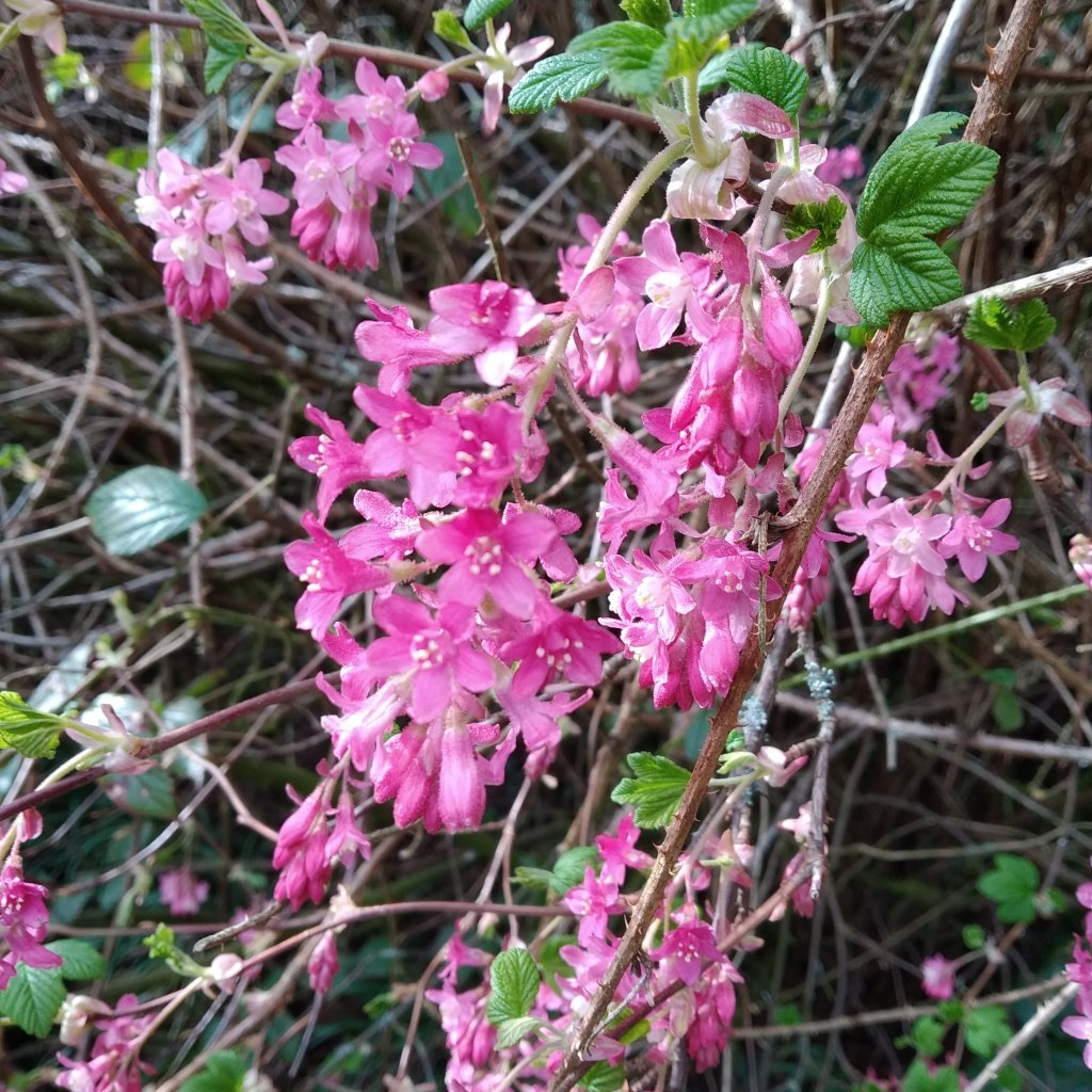 flowering currant bush, pink flowers, used to make cordial, herbal tea and this frozen dessert