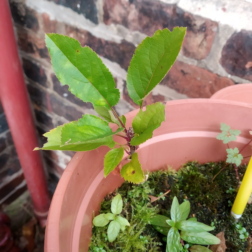 baby apple tree growing a pot - get planting more trees in national tree week